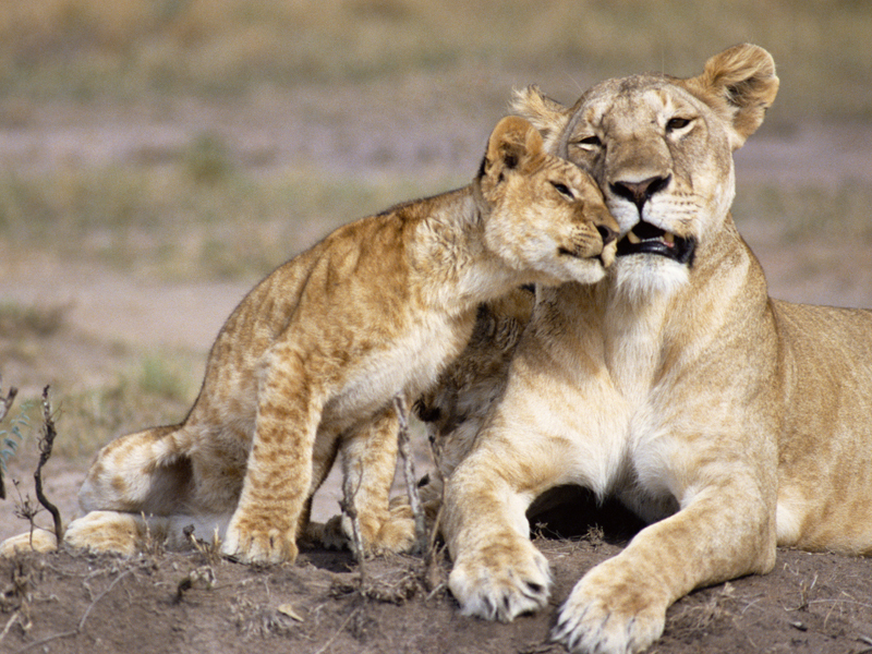Lioness and her cub, africa